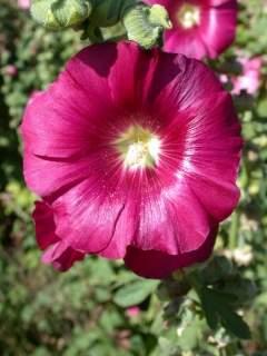 gül hatmi çiçeği