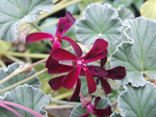 PelargoniumSidoidesp