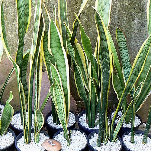 Hava temizleyen ev bitkileri for Plantas de interior lengua de gato