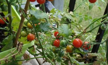 balkonda-domates